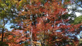 【太宰府】竈門神社の紅葉が始まってました[もみじ祭り/ライトアップ]