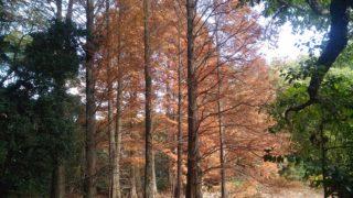 【篠栗】九大の森ラクウショウの紅葉がすごい事に、駐車場は大混雑