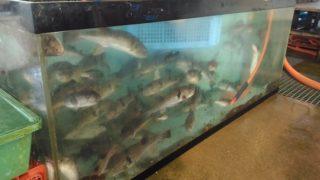 【宗像】もはやトラフグ水族館な、鐘崎漁港の活魚センター