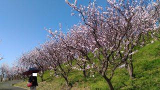 【福津】杏子の花が満開の、あんずの里運動公園