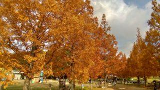 【古賀】グリーンパークのメタセコイアは紅葉の新名所になる予感